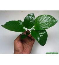 Anubias Barteri Broad Leaf DEV 1 Ad 4-5 Yaprak