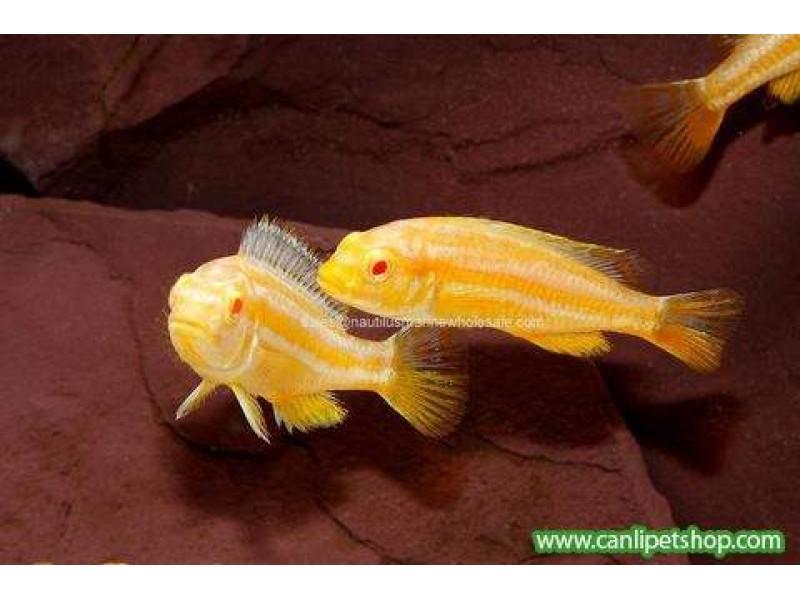 Auratus Ciklet Albino  1 Adet 4-5 Cm