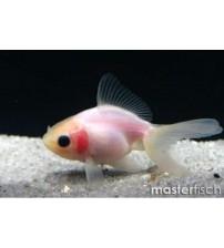 Japon Balığı Bebek Göz 1 ad