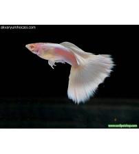 Lepistes Full white Albino 1 Ad Erkek 3-5 Cm