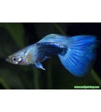 Lepistes HB Blue (blue Neon) 1 Ad Erkek 3-4 Cm