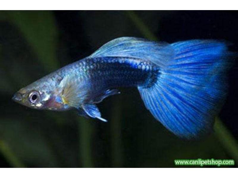 Lepistes (blue Neon) 1 Ad Erkek 3-4 Cm