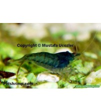 Mavi Karides (Caridina babaulti) 1 Adet
