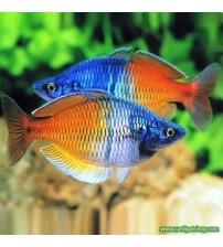 Gökkuşağı (Boesemani Rainbow ) 1 Ad 4-6 Cm