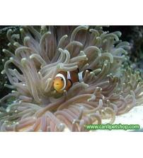 Anemones ( macrodactyla doreensis) Tuzlusu Canlısı