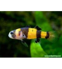 Bumble Bee - Arı Balığı - (Sarı-Siyah)1 Adet