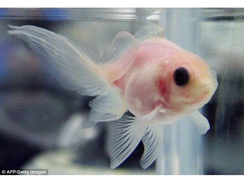 Japon Balığı BLACK EYE 10 ADET 4-5 CM TR DE İLK
