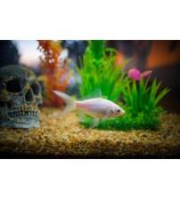 Japon Balığı FULL WHİTE 10 ADET 4-5 CM TR DE İLK