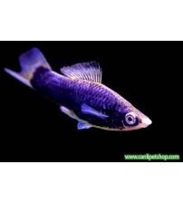 Kılıç Kuyruk Balığı CamGöz 1 Adet 3-5 Cm