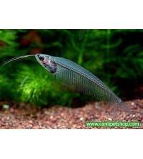 Kedi Balığı Cam 1 Ad 5-7 Cm