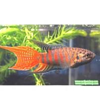 Gurami Cennet Balığı 1 Ad 4-6 Cm