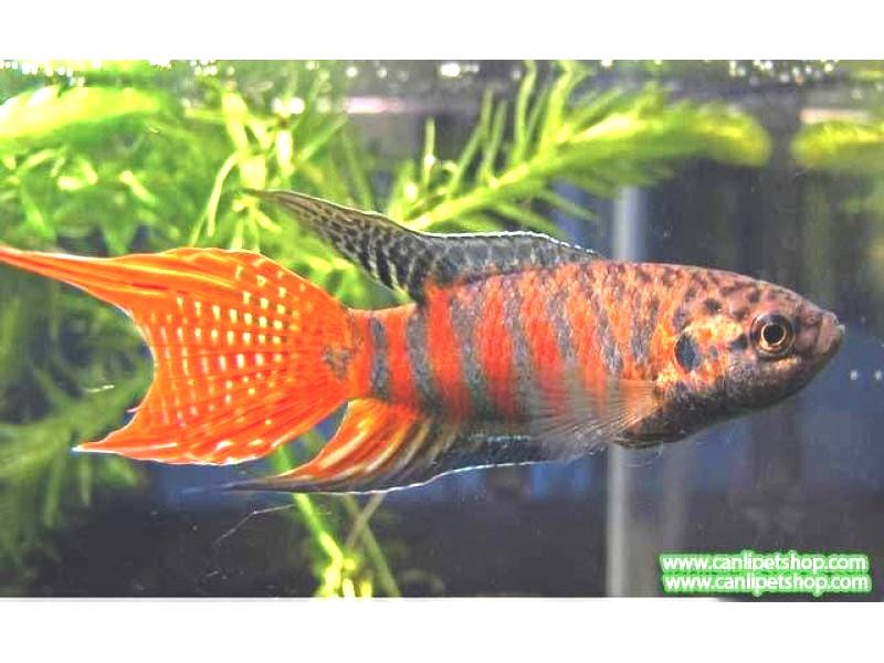 Gurami Cennet Balığı 3 Ad 4-6 Cm 1 ERKEK 2 DİŞİ YAVRU MAKİNASI TR DE TEK