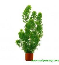 Ceratophyllum demersum (Çam) 1 Saksı