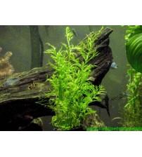 Ceratopteris Cornuta (Fujer) 2 Ad