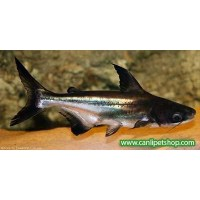 Köpek Balığı Challenger 1 Ad  10-12  Cm