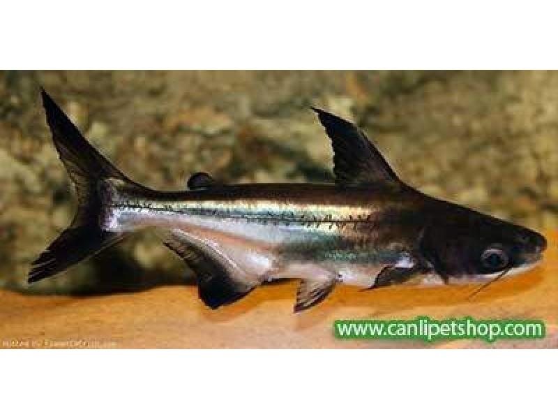 Köpek Balığı Challenger 1 Ad  3-5 Cm