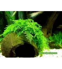 Moss Christmas Moss 1 Pkt