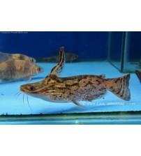 Kedi Balığı Colombian Wood Catfish 5 adet  5-6 Cm TR DE İLK