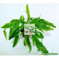 Cryptocoryne wendtii Green(Yeşil) 1 Ad (Tropica)