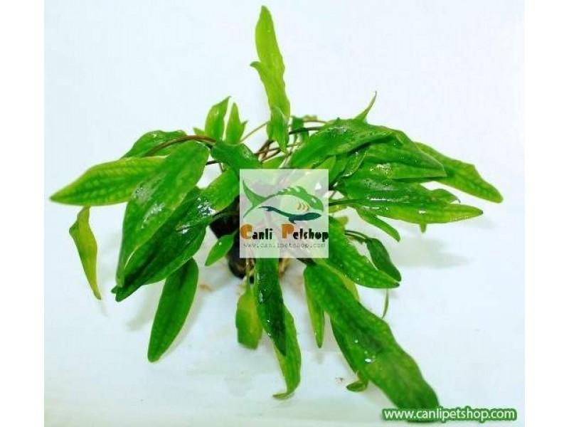 Cryptocoryne wendtii Green(Yeşil) 2 kök 3-4 Cm
