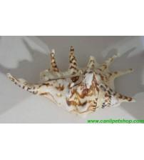Deniz Kabuğu Büyük Boy 15 cm 1 Adet