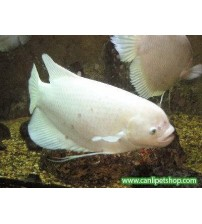 Gurami Albino Dev 1 Adet 12-14 Cm