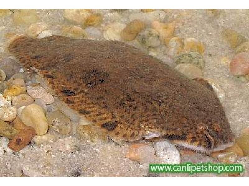Dil Balığı Tatlısu için  4-6 Cm