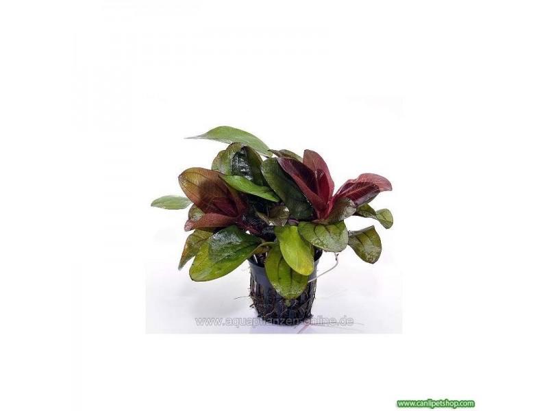 Echinodorus Reni 1 Ad