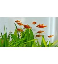 Tetra Ember Sürü Balığı 1 Ad 1,5 - 2 Cm