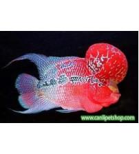 Flower Horn Ciklet 1 Ad Top Kafa Red Dragon 30  Cm Erkek