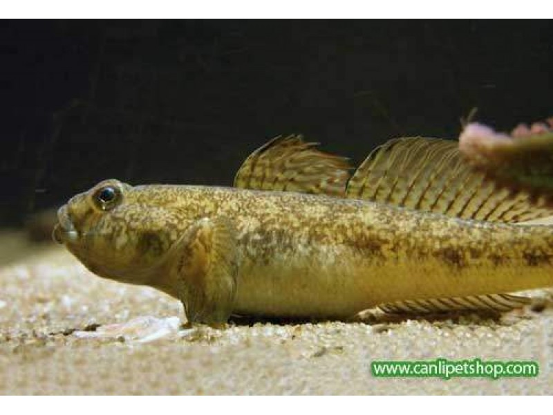 Gobius Niger ( Dip Balığı ) 1 Adet