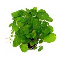 Hydrocotyle verticillata Zemin Bitkisi 1 Saksı