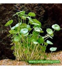 Hydrocotyle verticillata Zemin Bitkisi 10 adet