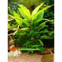Hygrophila Corymbosa -Limon 10 Kök