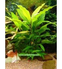 Hygrophila Corymbosa -Limon 5 Kök