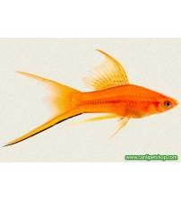 Kılıç kuyruk Balığı Aykuyruk 1 Ad 4-5 Cm