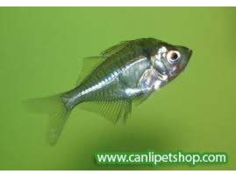 Cam Balığı
