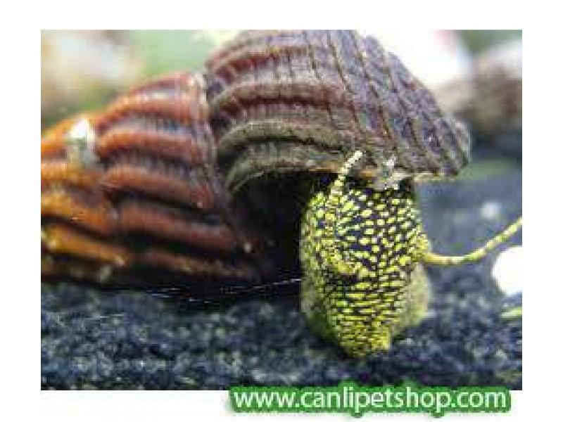 Rabbit Snail Salyangoz yavru 1 Adet