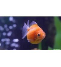 Japon Balığı inci Gövde   B kalite 1 Adet 4-6 Cm