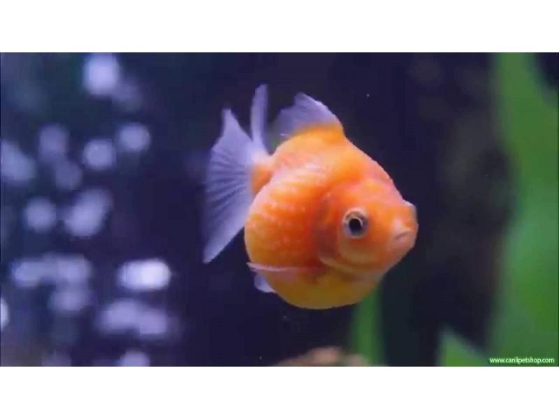 Japon Balığı inci Gövde 1 Adet 4-6 Cm
