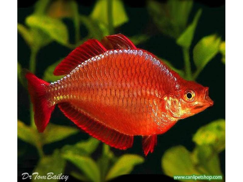 Gökkuşağı Kırmızı (Red Rainbowfish-İncisus) 1 Adet