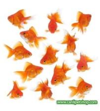 Japon Balığı 10 Adet 5-7 Cm