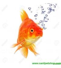 Japon Balığı S Boy 1 Adet 3-4 Cm