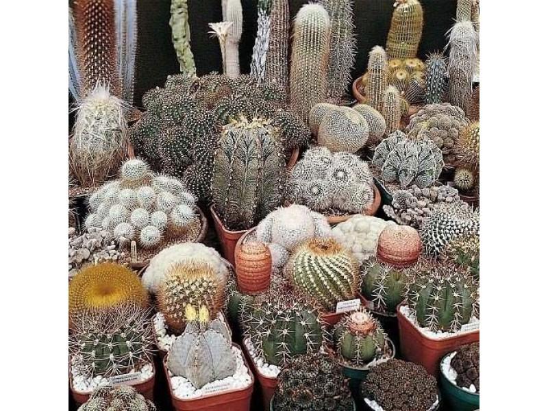 Karışık Kaktüs Bitkileri Çiçeği Tohumu 100 Adet Tohum