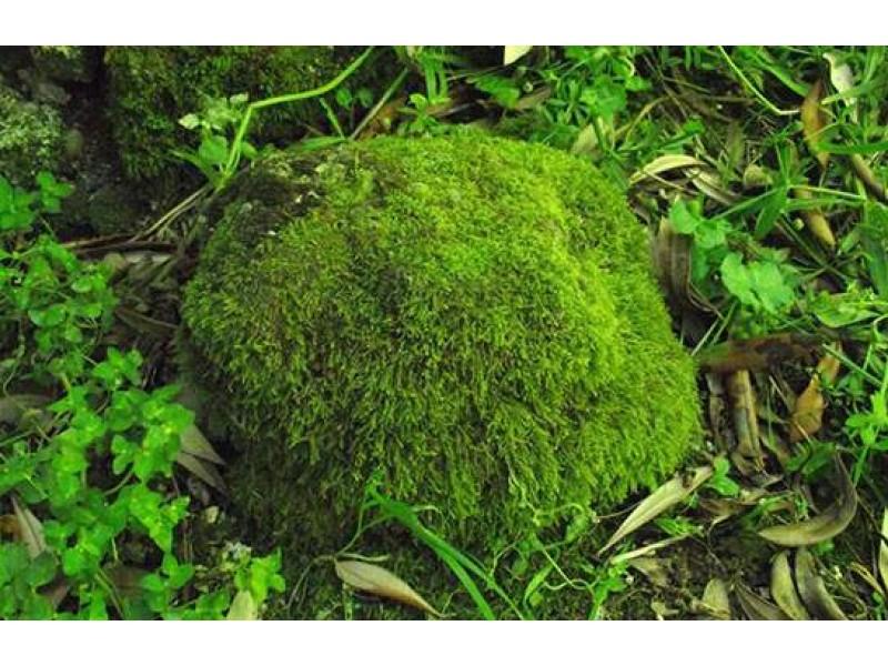 Orman Yosunu 20*20