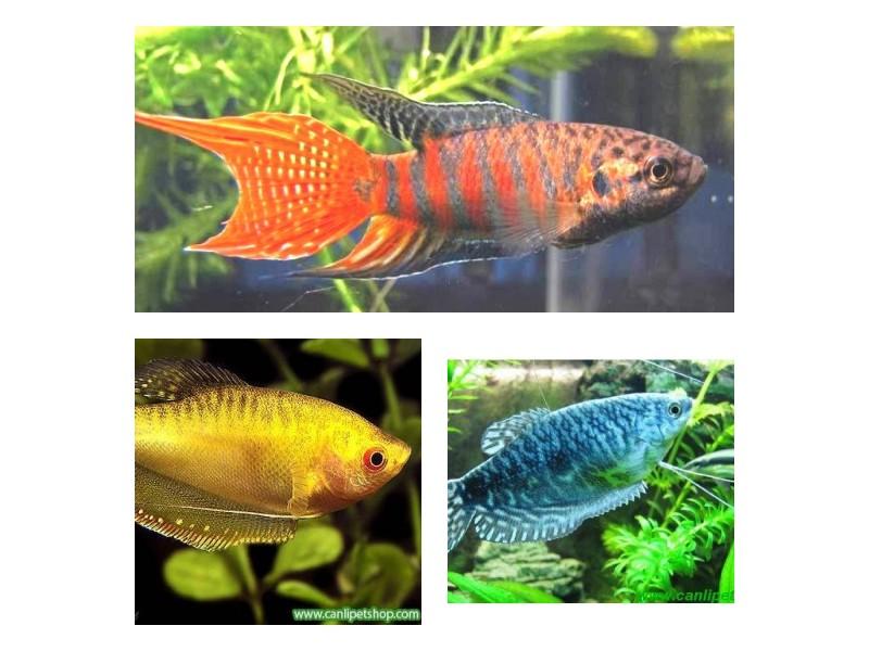 Gurami 3 Farklı Renk 3 Adet  5-6 Cm