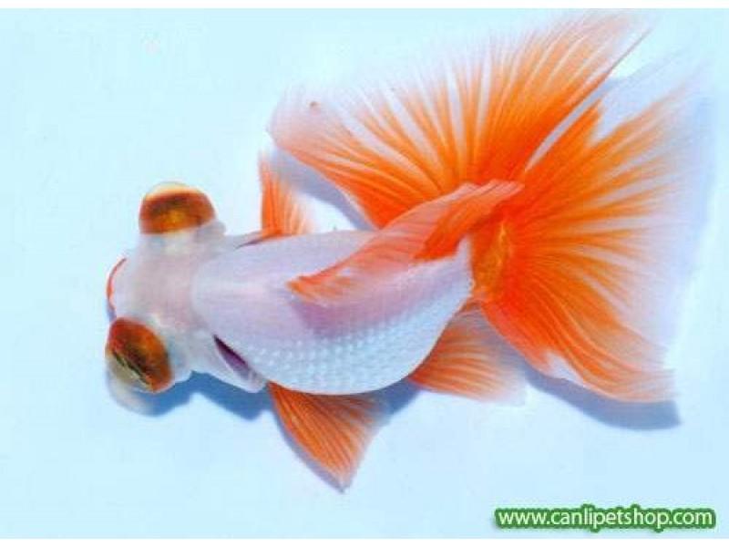 Japon  Balığı Kelebek Kuyruk 1 Ad 4-6 Cm Kampanya