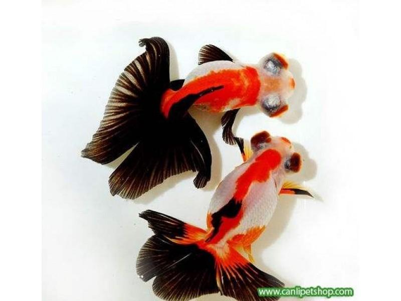Japon  Balığı Kelebek Kuyruk 1 Adet 5-6 Cm