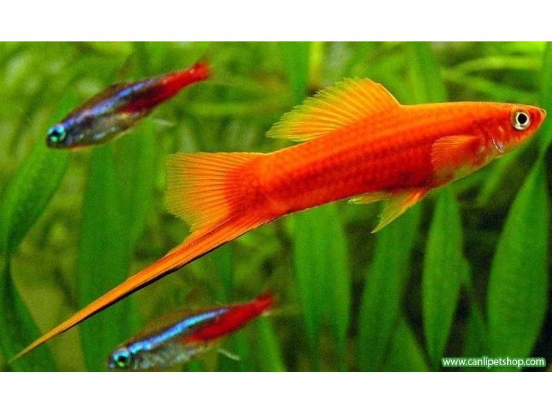Kılıç Kuyruk Balığı 10 Ad 2-3 Cm