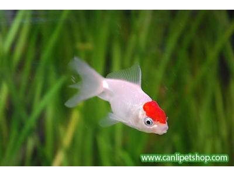 Japon Balığı Kınalıbaş Genç 1 Ad 4-6 Cm